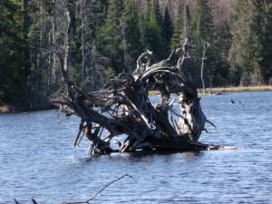 Marshland driftwood - Kennisis Lake